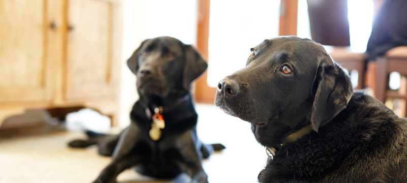 Guide Dog Robbie and newly retired Zimba