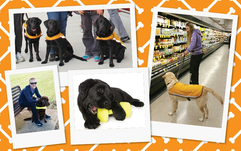 Collage of photos showing a working Guide Dog, severa Guide Dogs in training, a Guide Dog puppy with a toy and a Guide Dog Trainer Cadet with her Guide Dog in training
