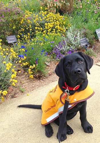 Young puppy Bailey, a black labrador, sits on a path at King's Park in his yellow training coat. Behind him is a bed of native Australian willdflowers