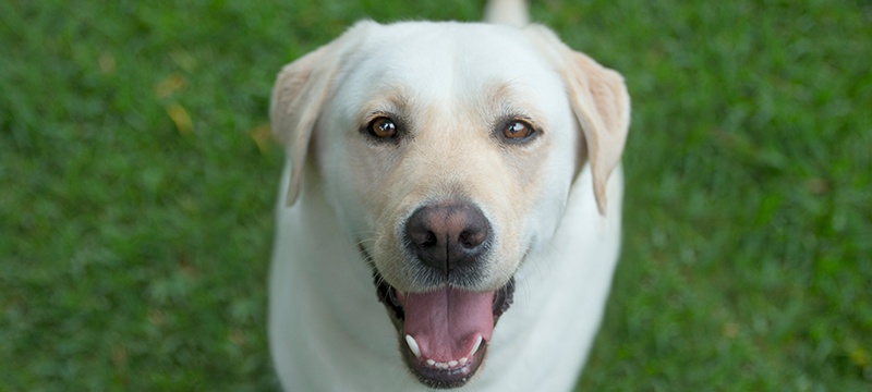 Yellow labrador looks at the camera