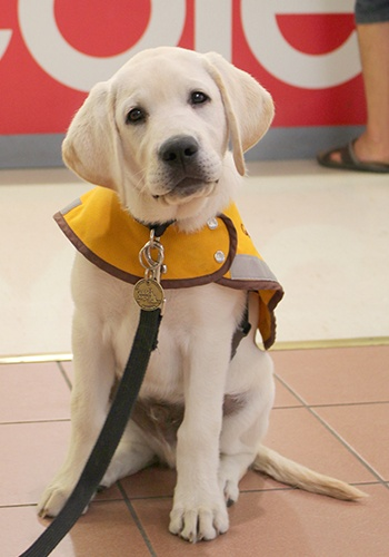 A young Guide Dog in training Simba sits in his yellow training coat outside a Coles store