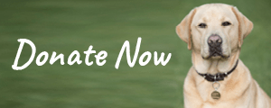 Text: Donate Now. Close up photo of Koha, a golden labrador