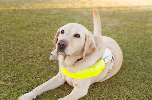 Yellow Guide Dog with harness lying on grass