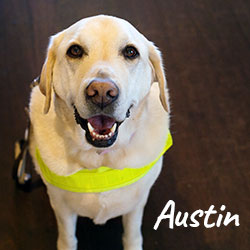 Guide Dog Austin looks at the camera
