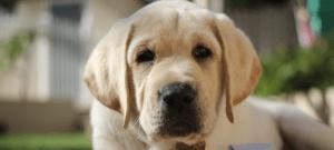 Autism Assistance Dog Harley