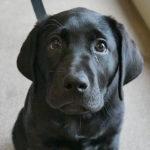 Black labrador puppy in training Daisy