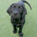 Black labrador puppy in training Dunkley