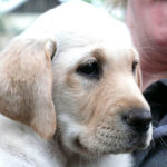 Yellow labrador puppy in training Elsa