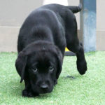 Black labrador puppy in training Hillman