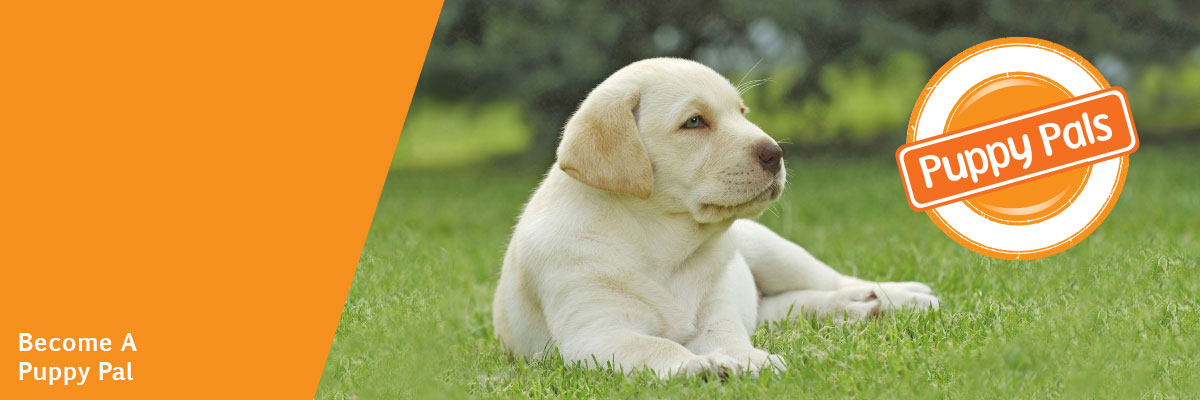 Yellow labrador puppy. Puppy Pals logo is overlaid on the image