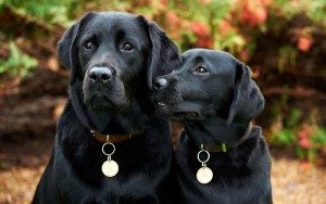 Two black labrador dogs look at the camera