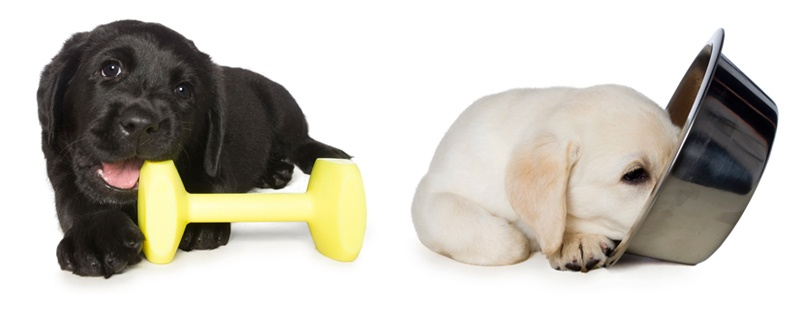 Black puppy chews yellow dumbell toy. A yellow pup is next to him, with his face in a stainless steel food bowl
