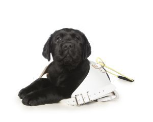 Black Guide Dog puppy in oversized white leather harness