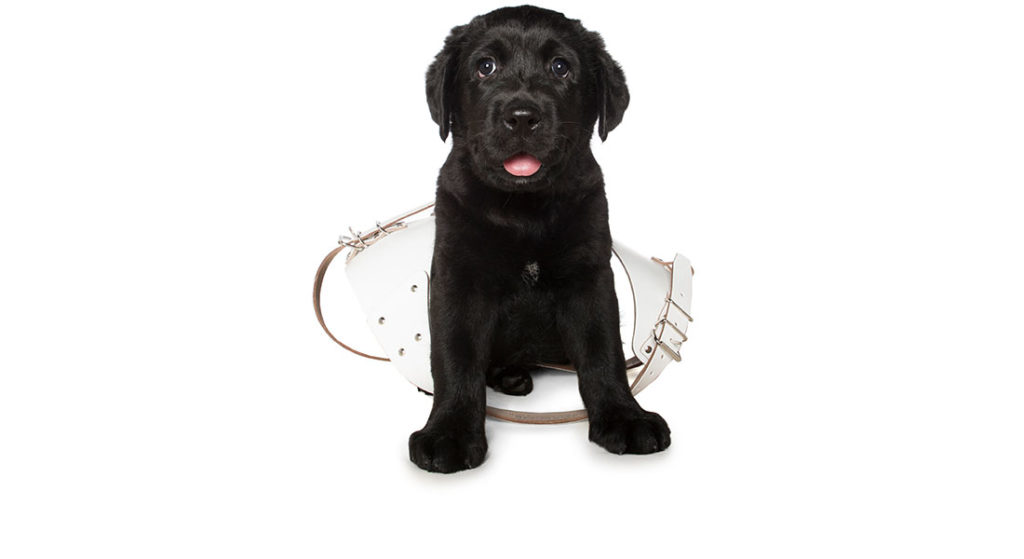 Black labrador puppy in Guide Dog harness