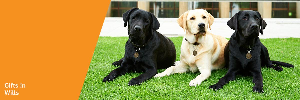 Two black labrador dogs with a yellow labrador dog