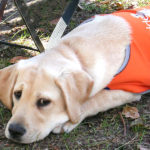 Yellow labrador puppy in orange jacket
