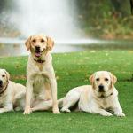 Three yellow labrador dogs