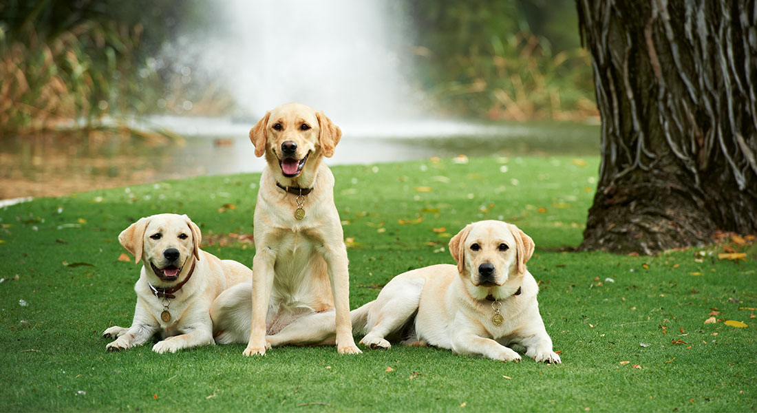 Jobs with Guide Dogs WA