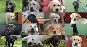 Montage of labrador puppies in training