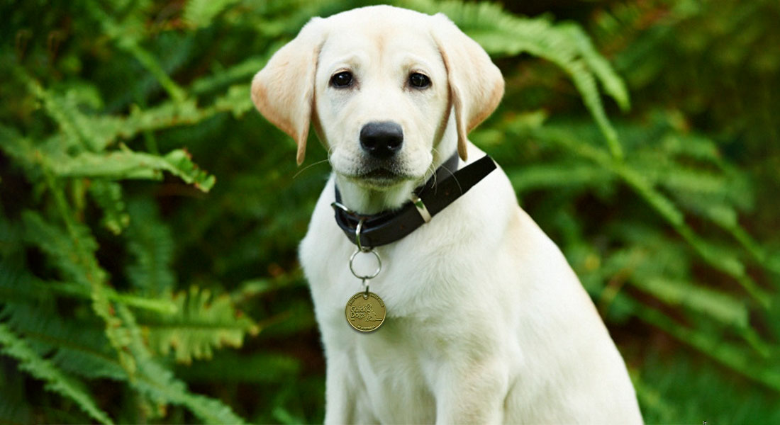 Sponsor A Guide Dog Through Guide Dogs WA