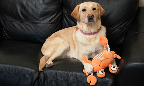 Companion Dog Margie sits on sofa with toy crab