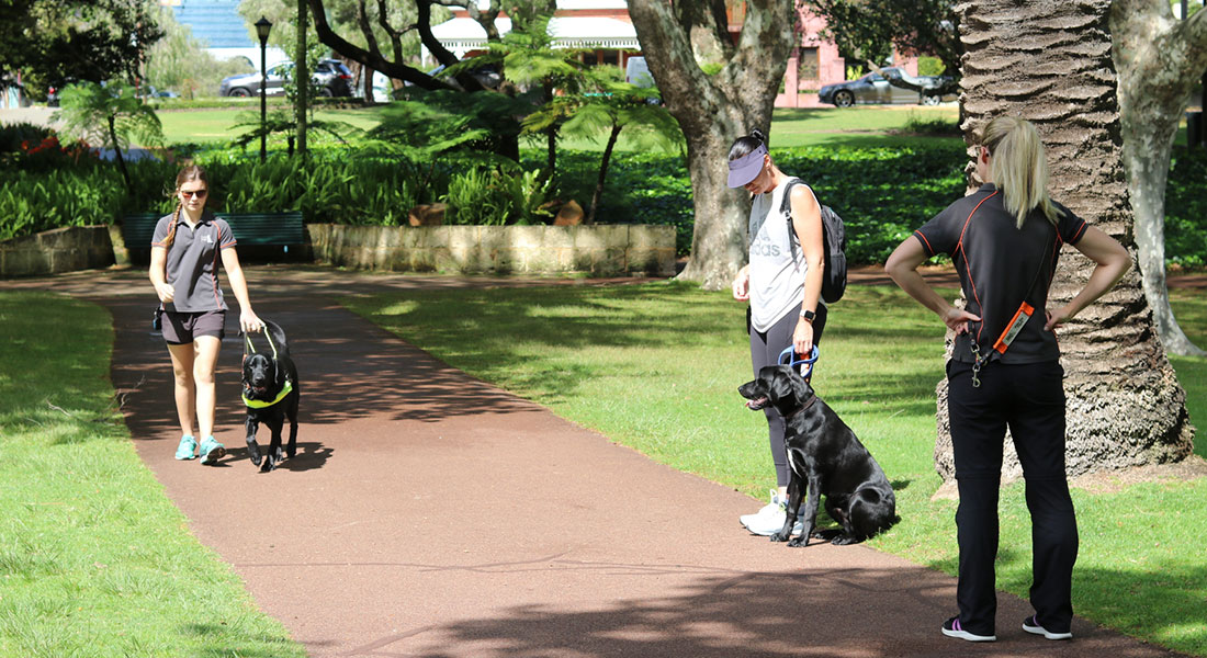 Person walking with labrador dog in harness with two people looking on