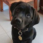 Black labrador puppy in training Cullen