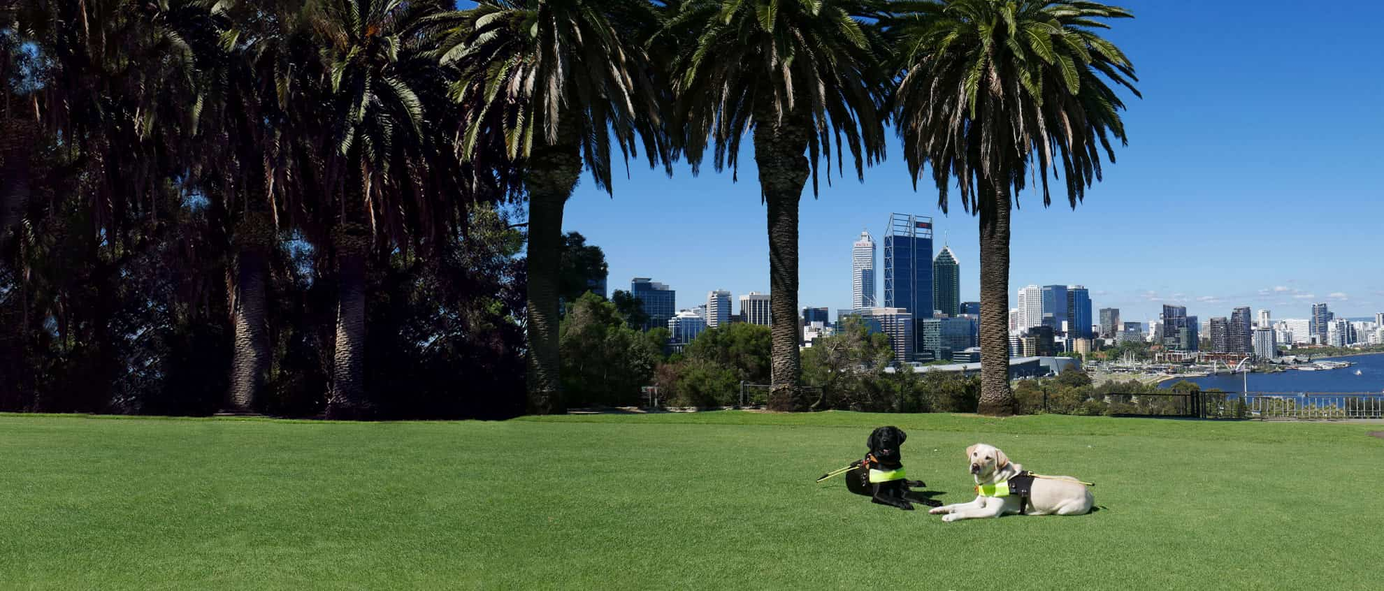 Guide Dogs sitting in Kings Park, overlooking Elizabeth Quay