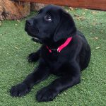 Black labrador puppy in training Zuma