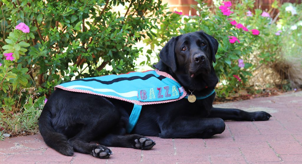 Black labrador Therapy Dog Bazza