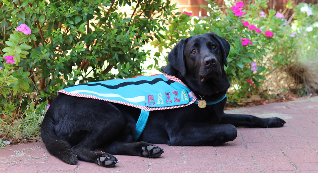 Black labrador Therapy Dog Bazza
