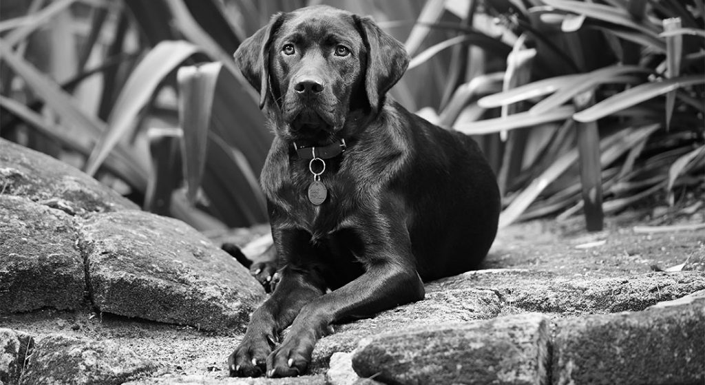 Black and white picture of black labrador lying on a rock facing the camera