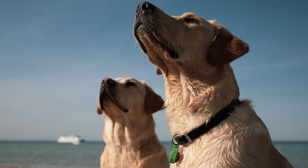 Two yellow labrador dogs
