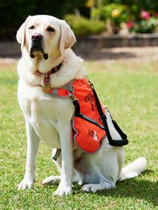 Yellow labrador in orange Autism Assistance Dog jacket
