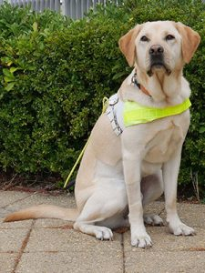 Yellow labrador in white leather harness