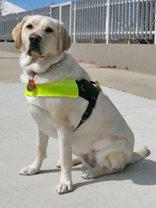 Yellow labrador wearing a brown leather harness