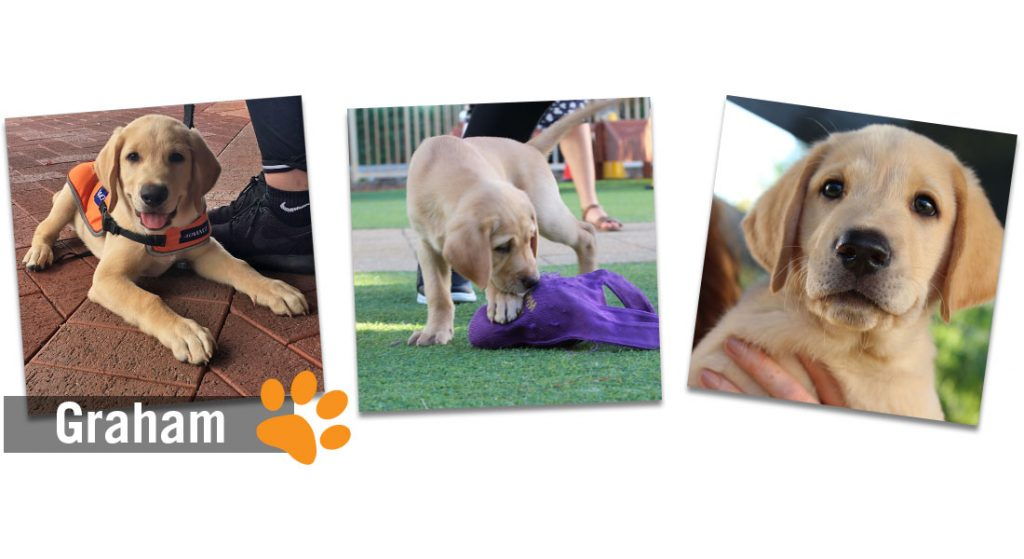 Montage of images of yellow labrador puppy. The word Graham is overlaid on the image