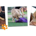 Montage of images of yellow labrador puppy