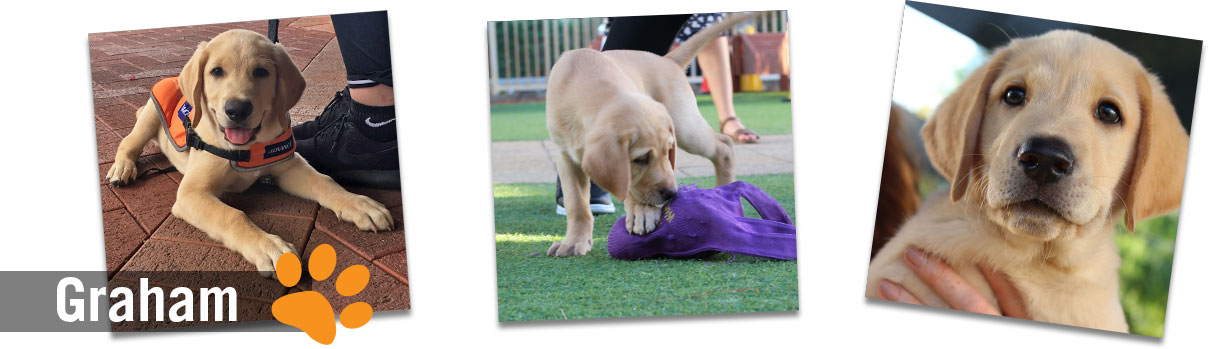 Montage of yellow labrador images