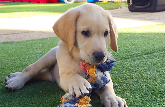 Yellow labrador puppy in training Graham