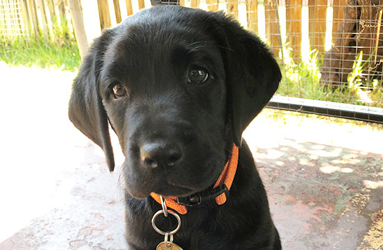 Black labrador puppy in training Harper