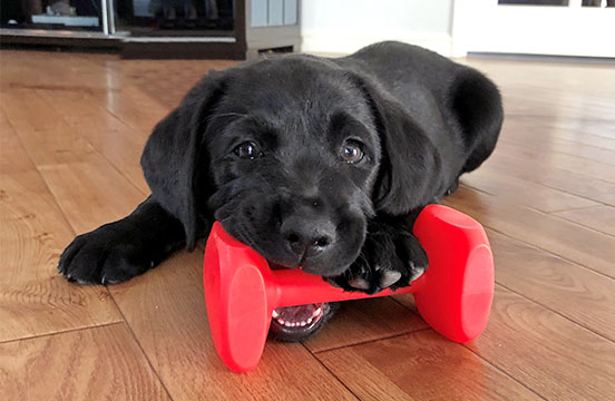 Black labrador puppy in training Lynette
