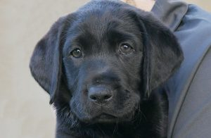Black labrador puppy in training Onyx
