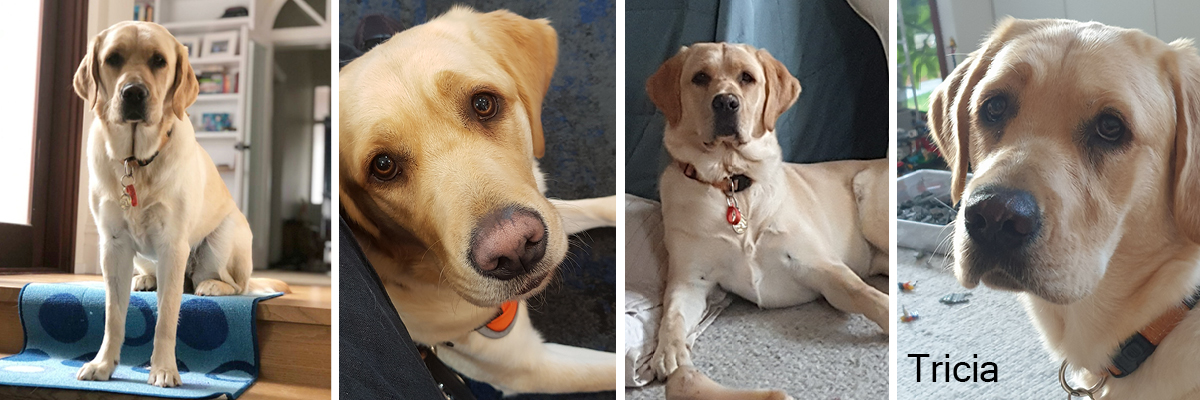Montage of 4 photos of Guide Dog in training Tricia relaxing in the home and on a training walk.