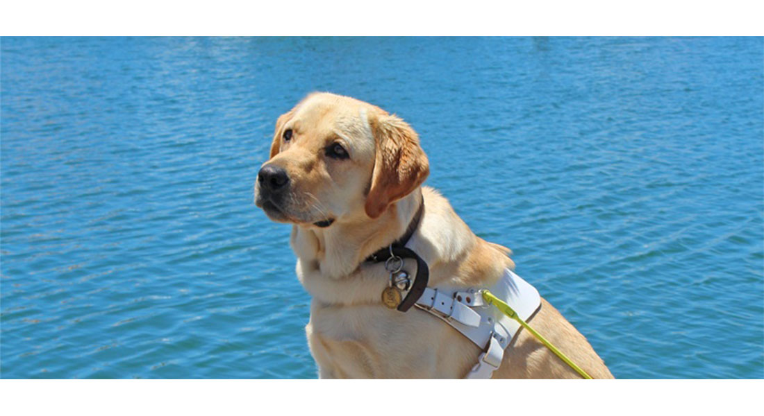 Guide Dog Goldie