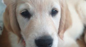 Close up of Golden Retriever Puppy Taylor.