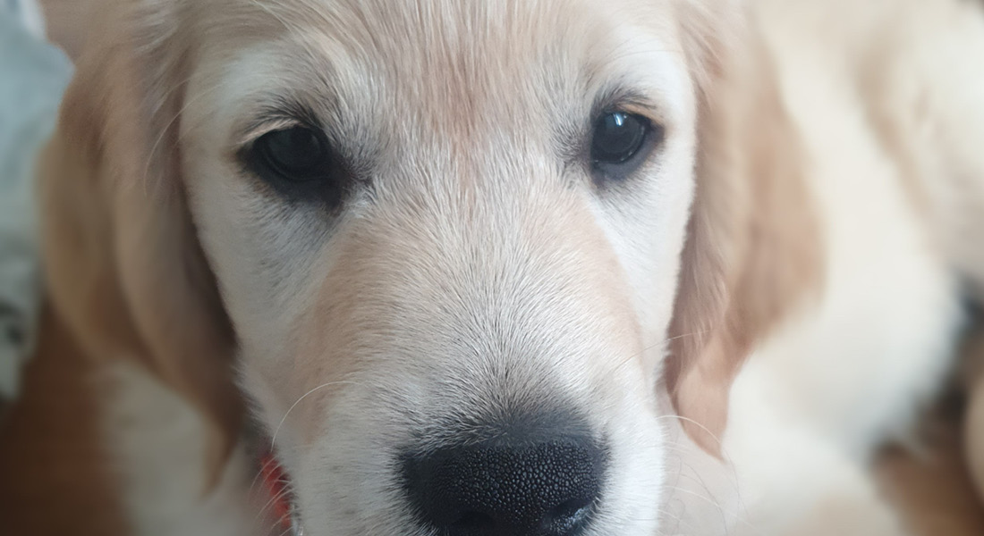 Close up of Golden Retriever Puppy Taylor.