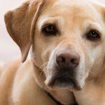 Close up of labrador Guide Dog