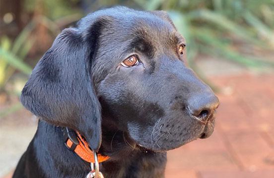 Black labrador puppy Charles