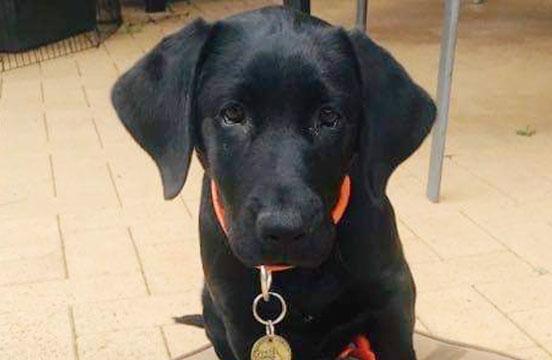 Black labrador puppy Emma